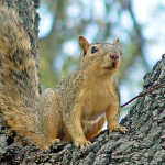 Fox-Squirrel-Photos