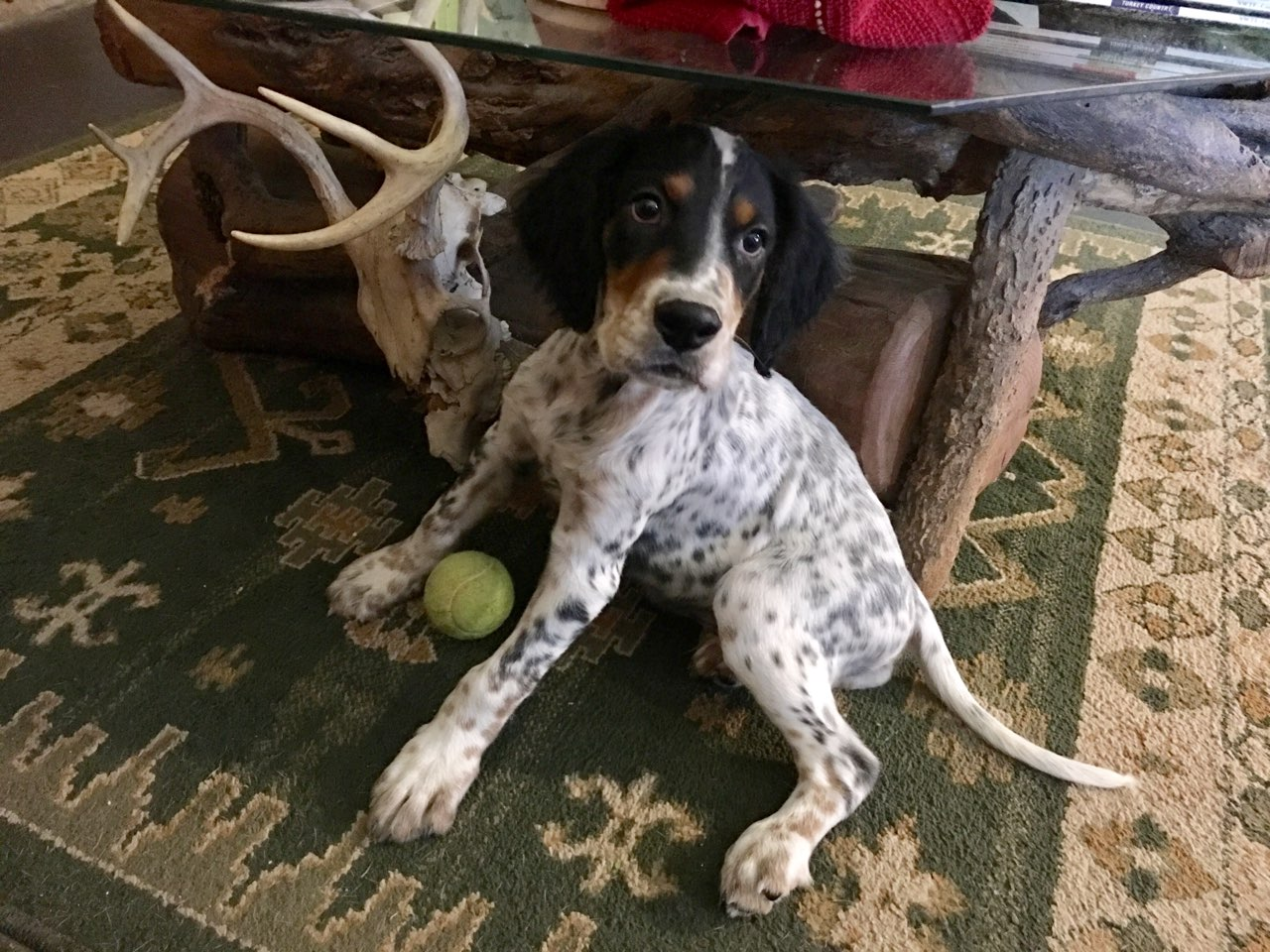 English Setter Pups Now Available